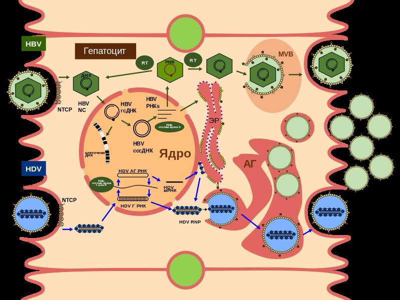 Жизненный цикл вируса гепатита Д